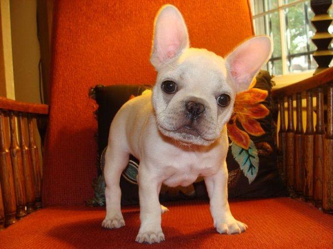 French Bulldog Puppies Wisconsin Zoe Fans Blog French Bulldogs