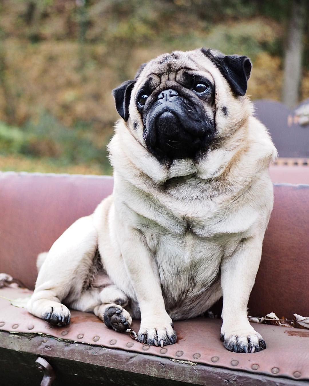 I Mean These Are The Good Things Of Life Pugpic Pug