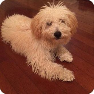 Pin By Kathy Gilbert On Dog Search Poodle Mix Dogs Puppies Pets