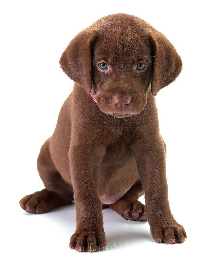 Newborn Chocolate Lab Puppies : newborn, chocolate, puppies, Newborn, Chocolate, Puppies