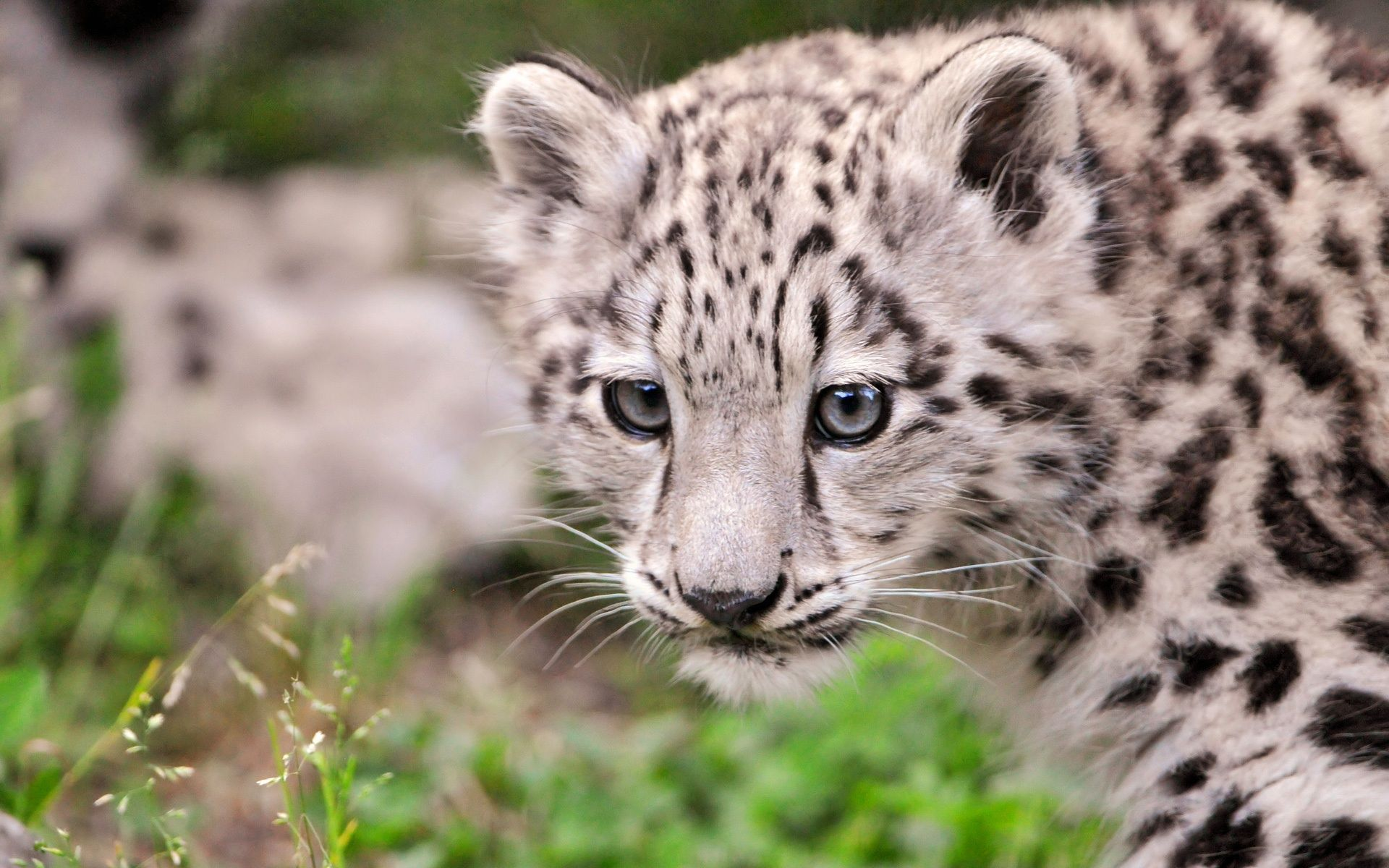 The Snow Leopard Cub Wallpaper HD Desktop