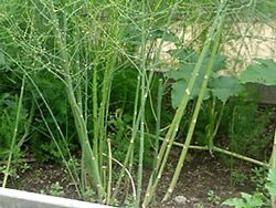 Asparagus Is A Member Of The Lily Family And Has Been 640 x 480
