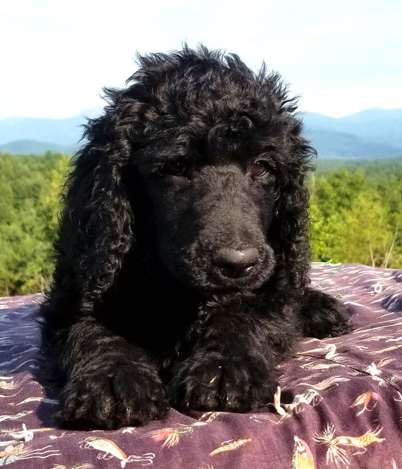 Pin By Poodles Of Piedmont On Black Standard Poodle Puppies