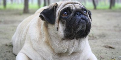 They may look cute and squishy, but overweight pets come with some serious health concerns! Fighting the Obesity Epidemic in Animals http://pawfectionpets.com.au/2016/02/01/hello-world/?utm_campaign=coschedule&utm_source=pinterest&utm_medium=Pawfection&utm_content=Fighting%20the%20Obesity%20Epidemic%20in%20Animals #pawfection #pawfectionpets #overweightpets #unhealthypets #dogs #cats #dogfood #catfood #healthrisksofobesity #obesity