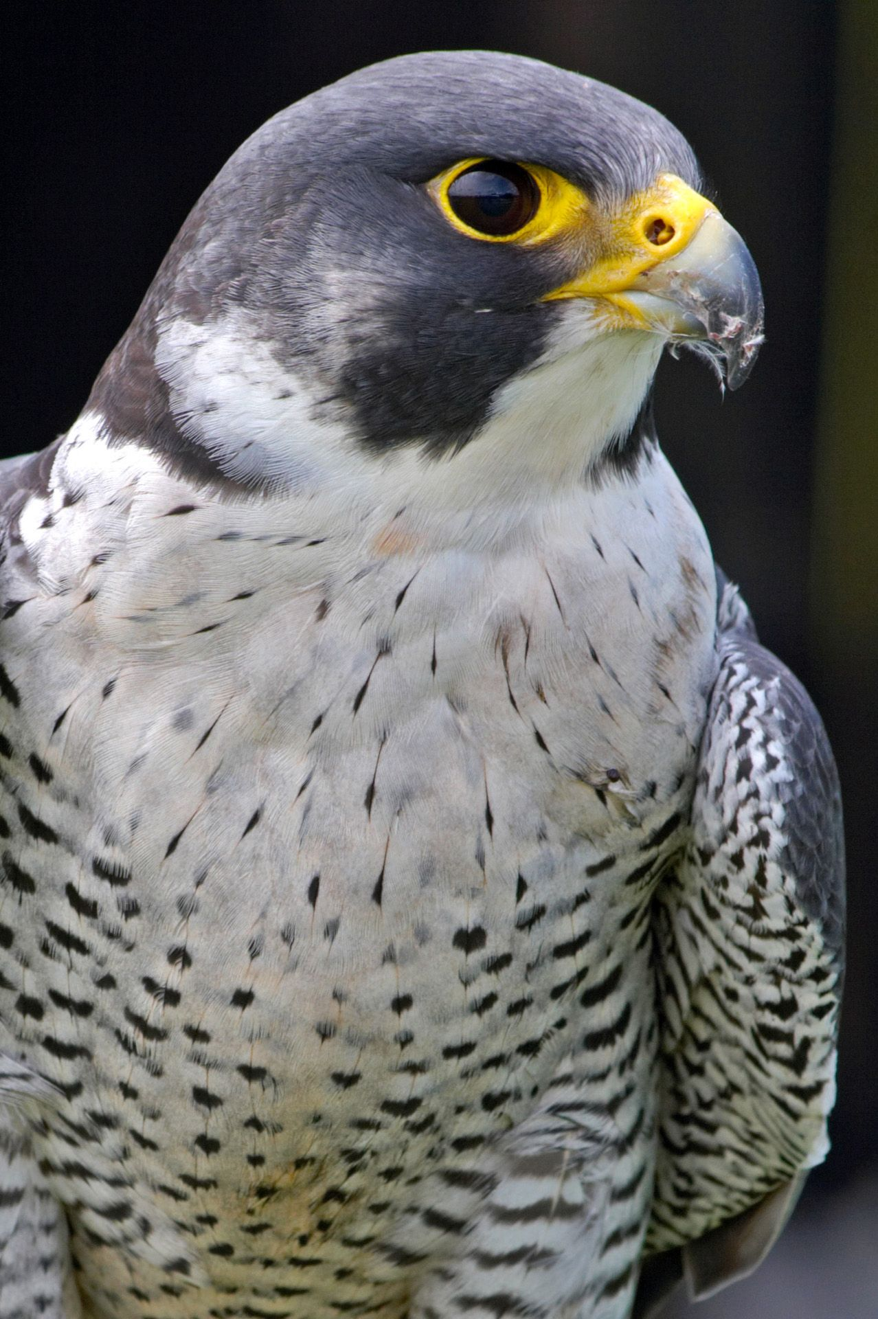 4 Types Of Falcons Species With Pictures Gate Information Falcao Peregrino Peregrino Animais