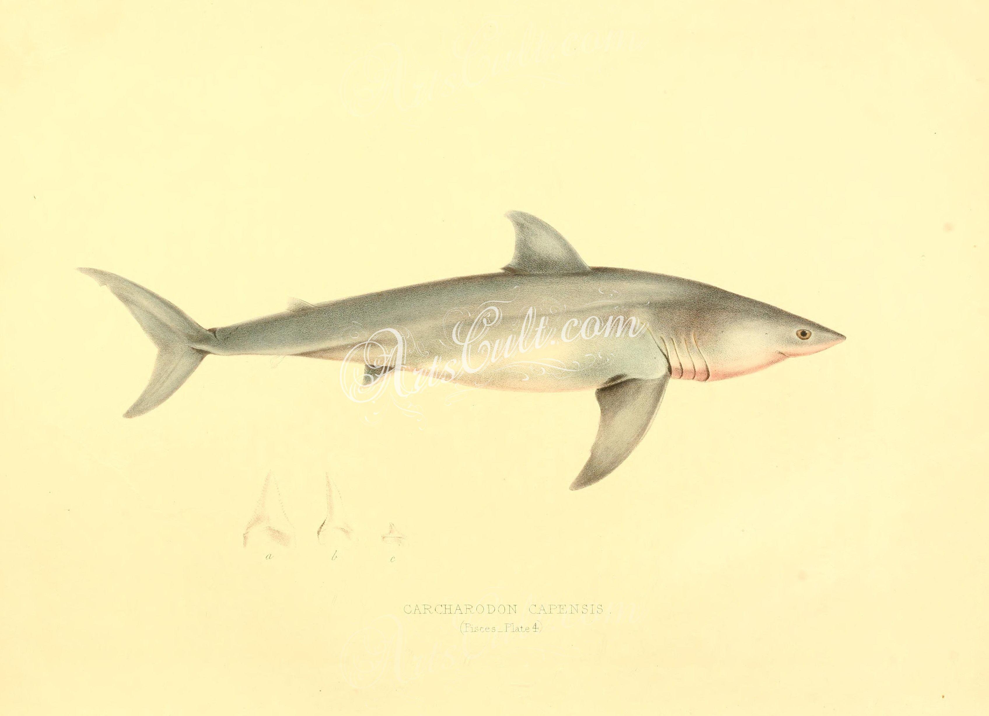 fishes Great White Shark ArtsCult Artscult ArtsCult