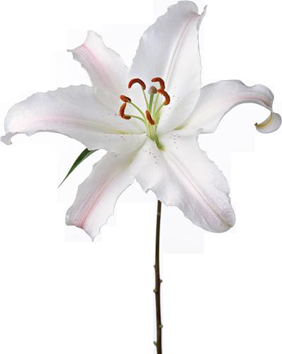 tubes fleurs lys fleurs blanches fleurs et magnolia