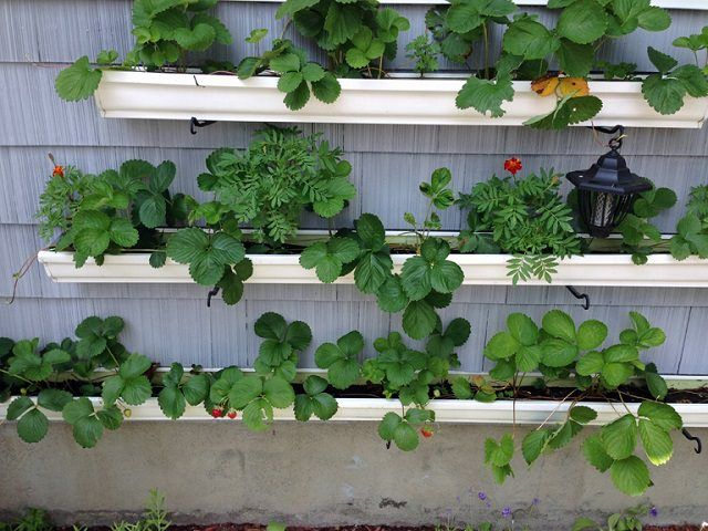 9 Unbeatable Diy Ideas For Growing Strawberries In A Little To No Space Balcony Garden Web Strawberry Garden Strawberry Plants Gutter Garden