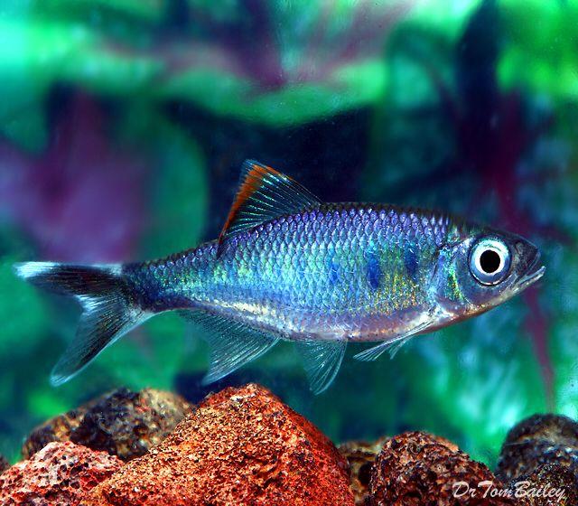 Dano Fish
