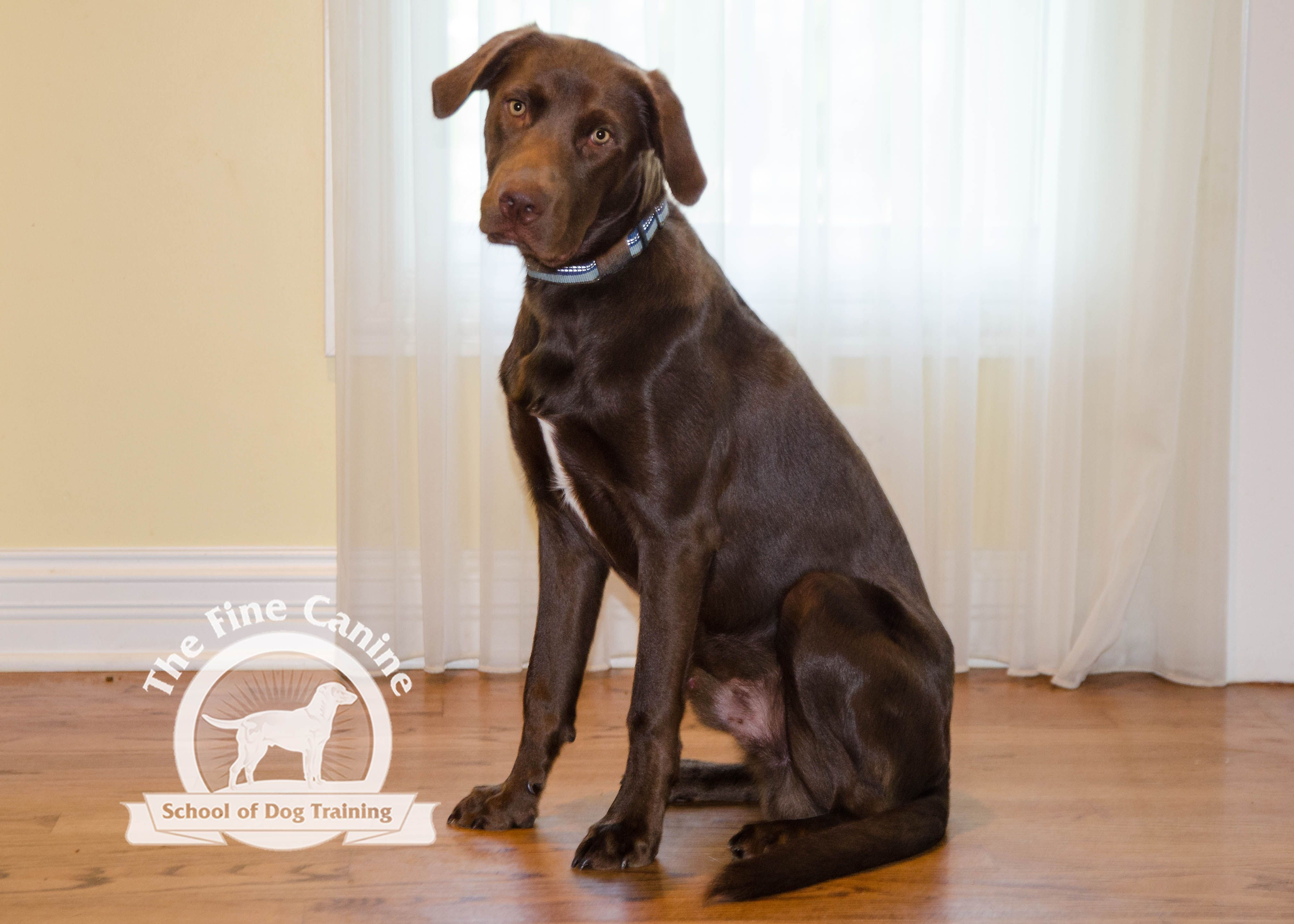 Bosworth the 6 month old Lab Pitbull puppy! Puppies