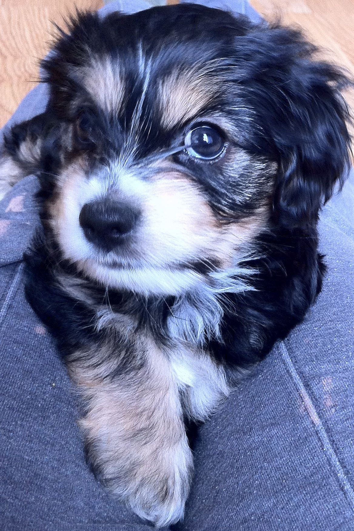 Maltese Yorkie Cocker Spaniel Mix Puppy Puppies Cocker Spaniel