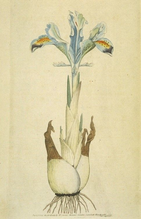 Iris persica by James Sowerby from The Botanical Magazine (1792).