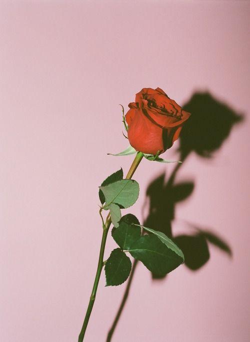 Iphone Tumblr Aesthetic Rose Wallpaper Hd
