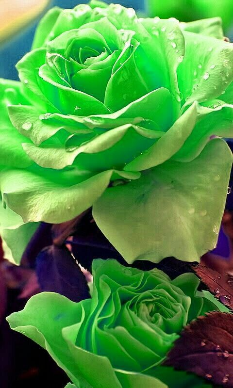 Spiritual Healer Kenneth Call Whatsapp 27843769238 Beautiful Rose Flowers Flowers Green Rose