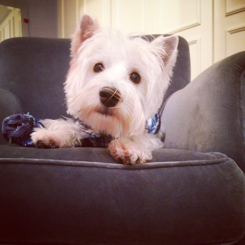 Getting The Socks Westie Love Dogs Westies West Highland Terrier