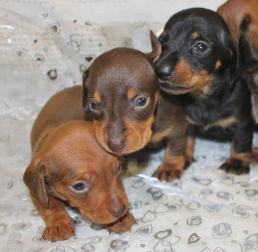 Kc Smooth Haired Miniature Dachshund Puppies Dachshund Puppies