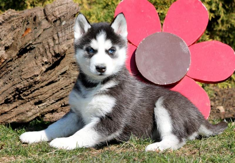 Siberian Husky Puppy For Sale In Mount Joy Pa Adn 71022 On
