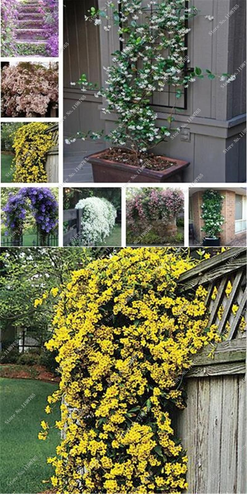 Visit To Buy 100 Pcs Exotic Climbing Jasmine Flower Seeds Colorful