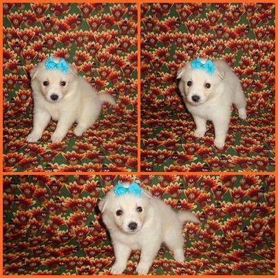 American Eskimo Dog Puppy For Sale In Clarksville Tn Adn 51694