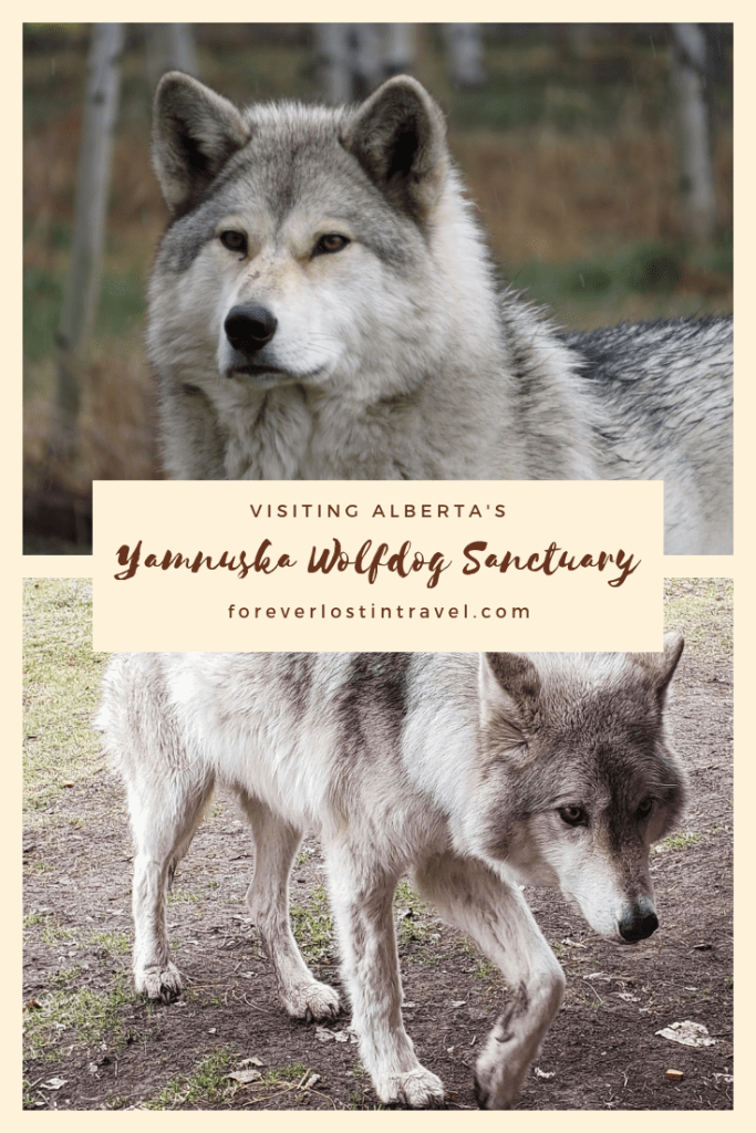 Running with the wolves in Alberta a visit to Yamnuska