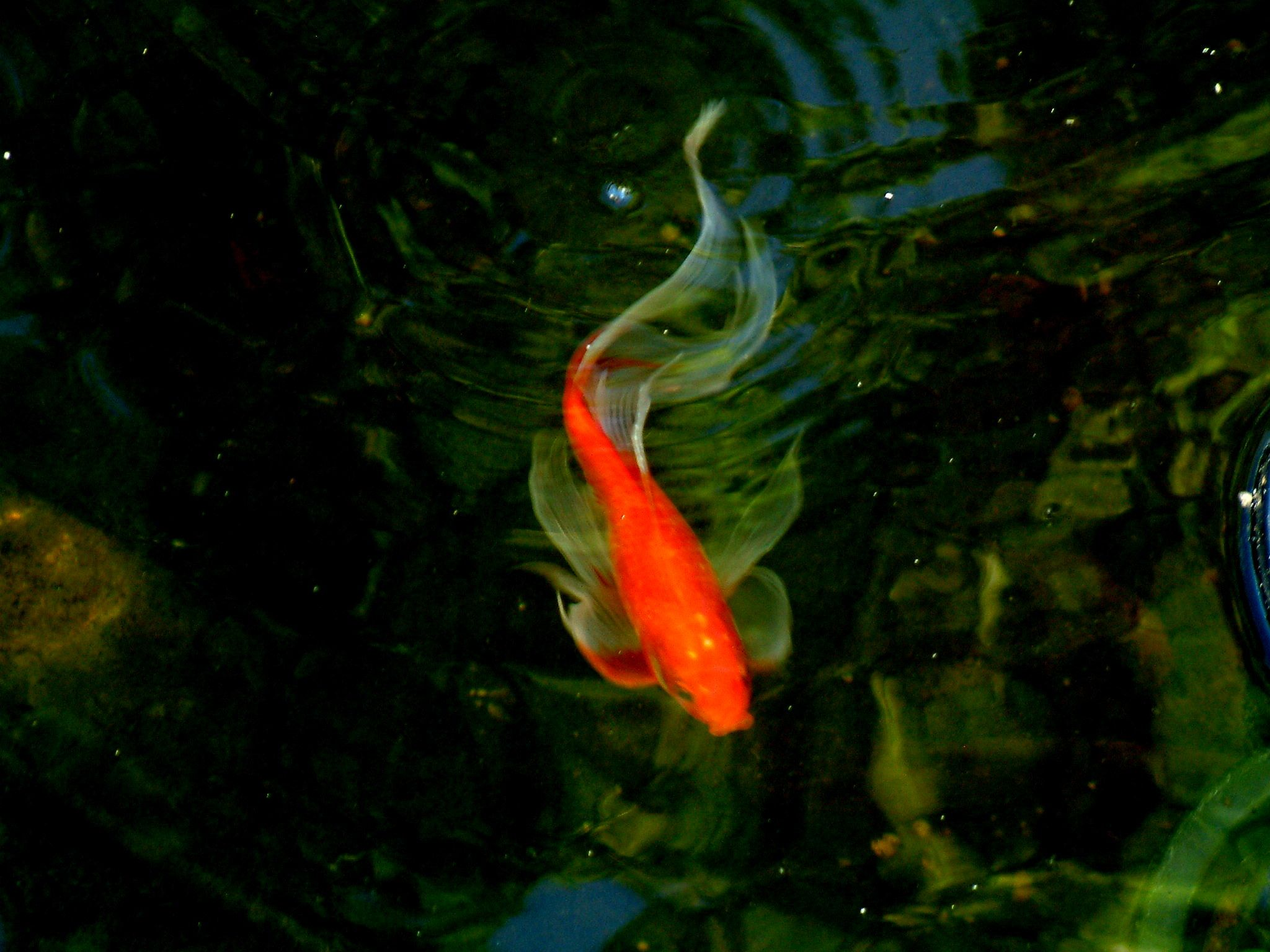 Goldfish pond species decor references - Goldfish Nice Long Finned Comet
