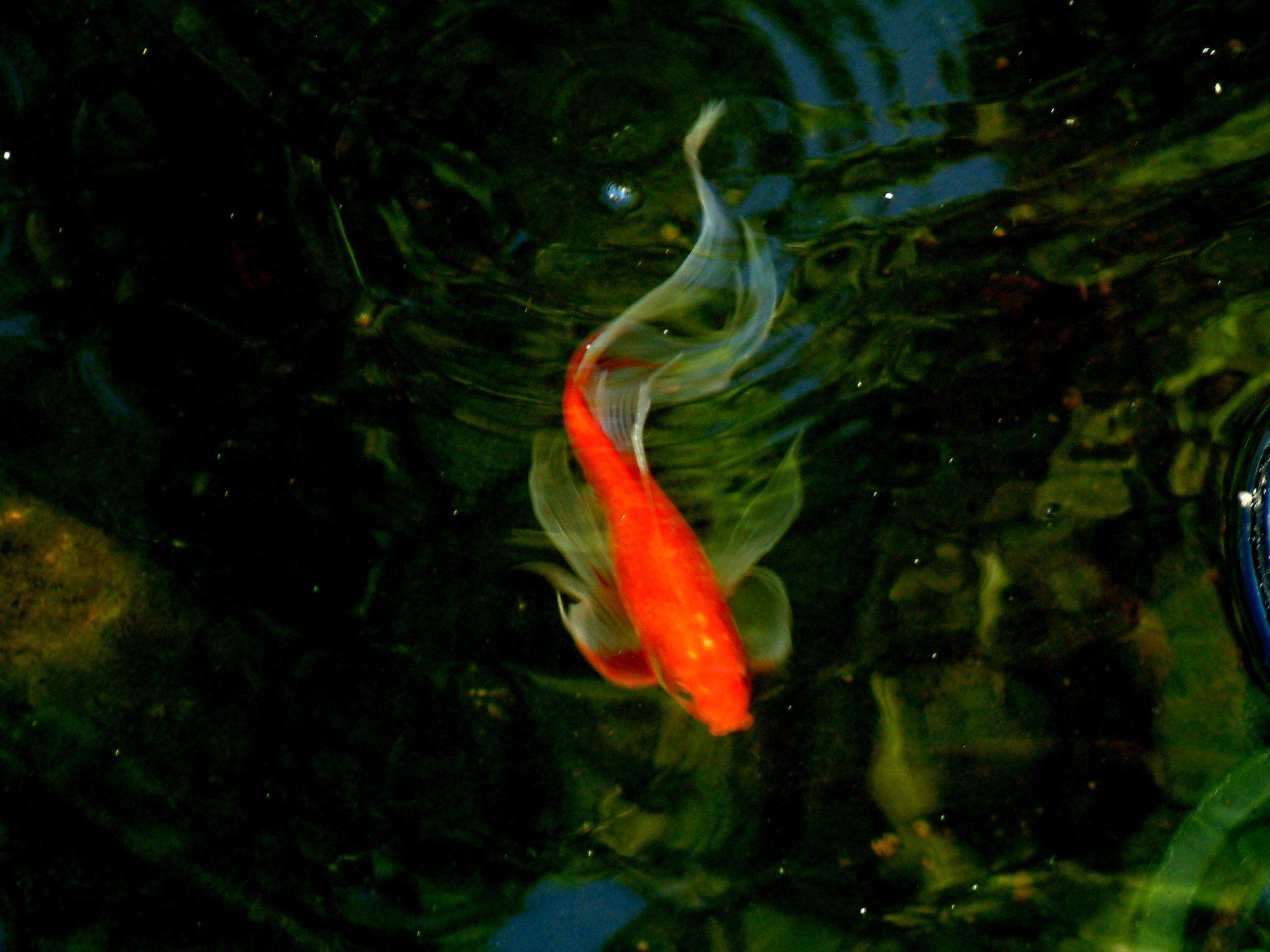 Goldfish nice long finned et Fishy Friends