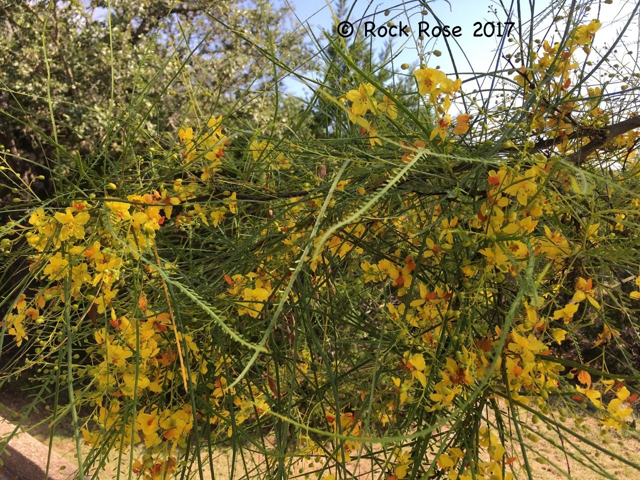 Retama, Parkinsonia aculeate, in summer bloom | Rock Rose | Central ...