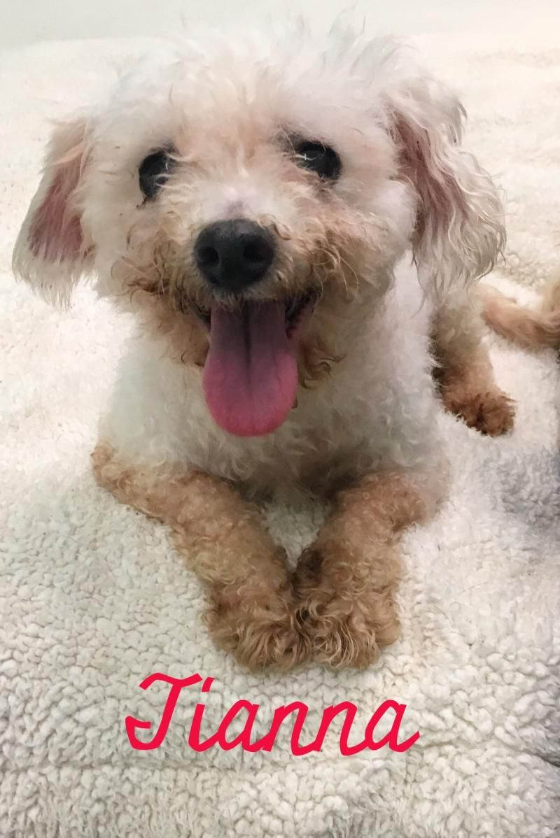 Adopt Tianna on Animal welfare society, Bichon frise