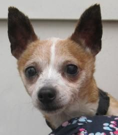 Adopt Micah On Dog Cat Chihuahua Dogs Dogs