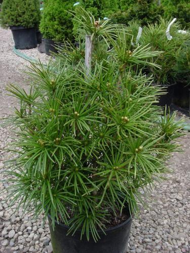 japanese umbrella pine | ... Nursery, Inc. - Sciadopitys verticillata – Japanese Umbrella Pine