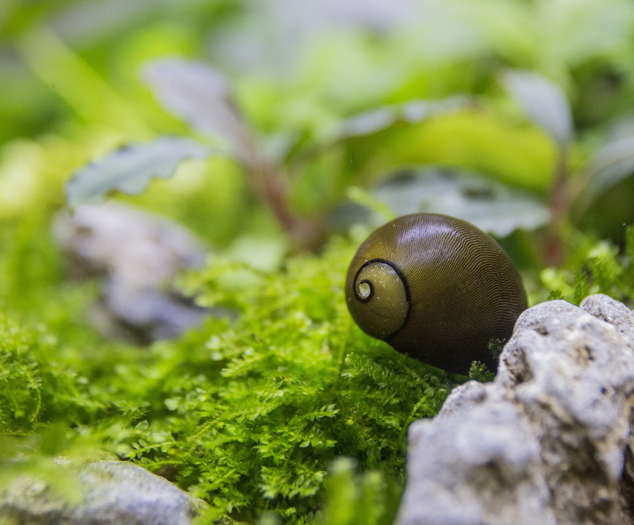 5 Olive Nerite Snails Obsessed with Gold Pinterest