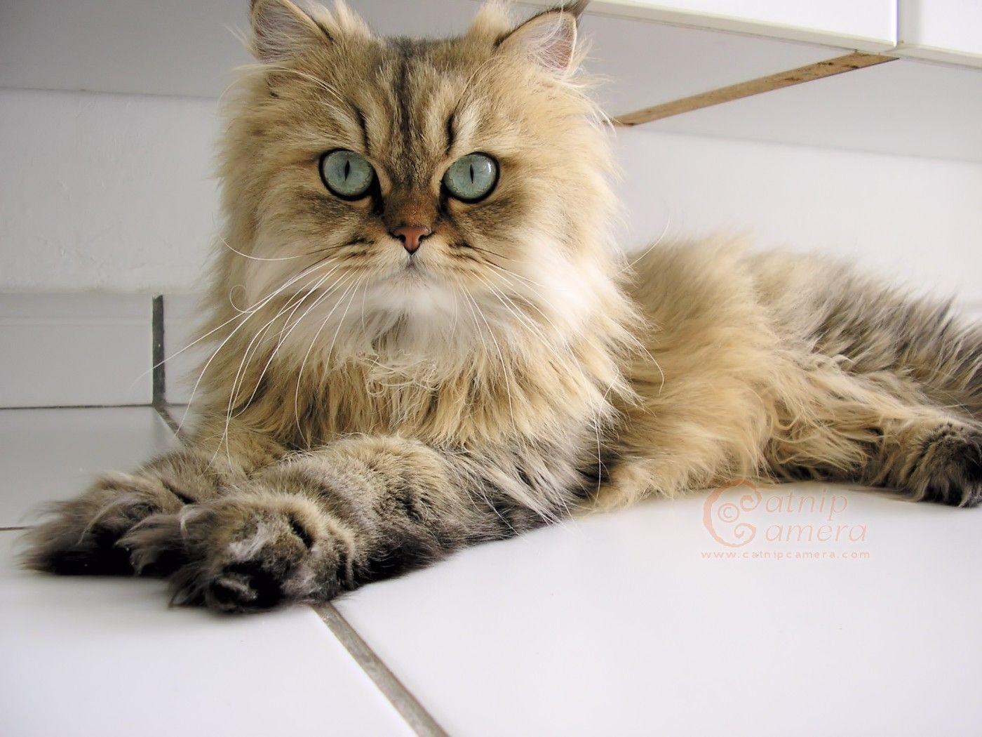 Black Asian Semi Longhair Cat With Gold Eyes