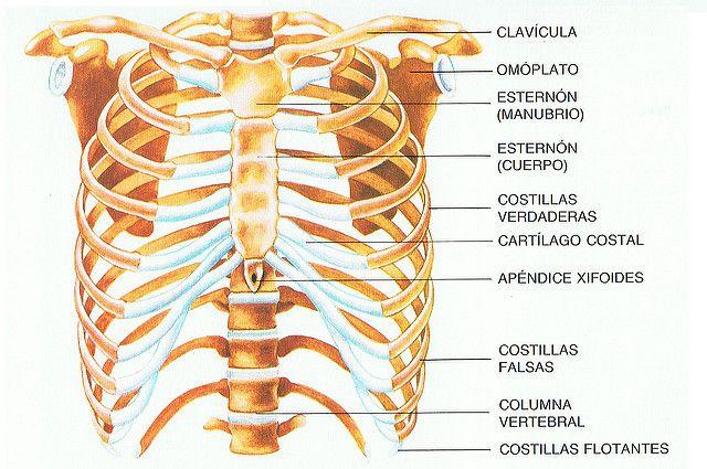 1. INTRODUCCIÓN El tórax humano es una región anatómica comprendida ...