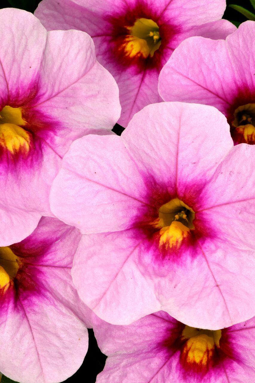 5964507a3f92 Calibrachoa Celebration Pink Doll from Dummen Orange - Year of the  Calibrachoa - National Garden Bureau