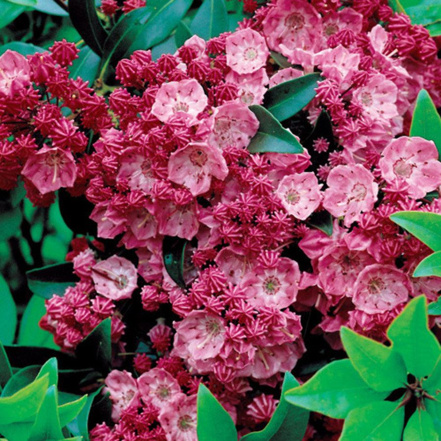 Sarah Kalmia Latifolia Mountain Laurel Shrub