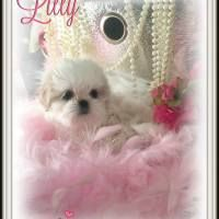 Our Beautiful Baby Girl Lilly! Come & See Her at http://www.ashihtzu4u.com/our-shih-tzus/mommies/lilly