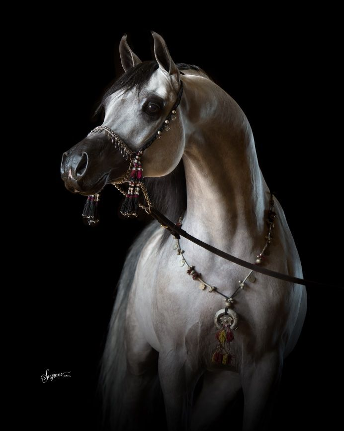 arabian horse gallery - EQUINE PHOTOGRAPHY by SUZANNE, Inc.