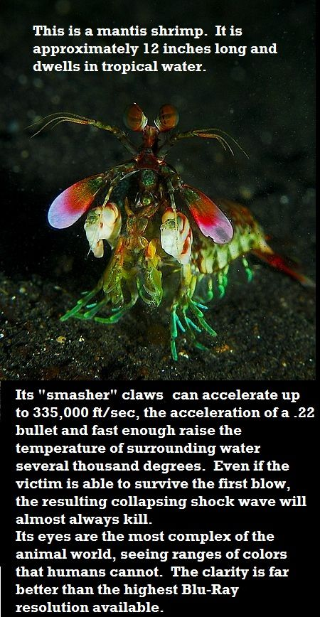 The majestic mantis shrimp.