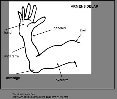 Terminologikort Armen