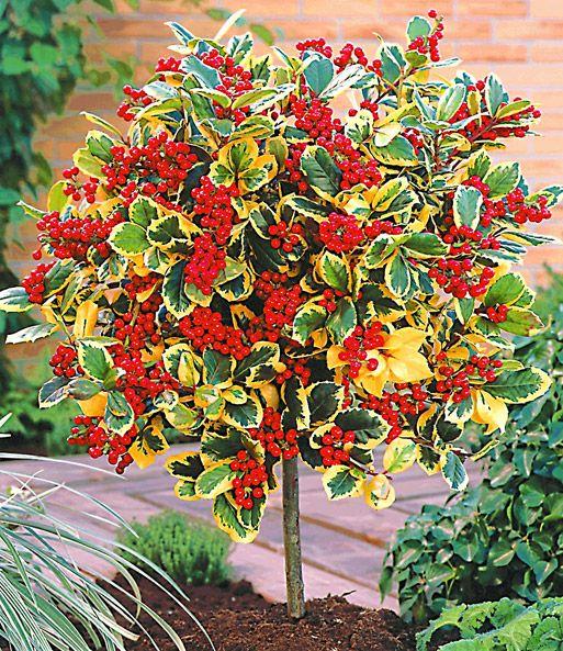 Ilex-Stämmchen u0027Golden Kingu0027 Gardening Pinterest Immergrüne - gartenstraucher immergrun winterhart
