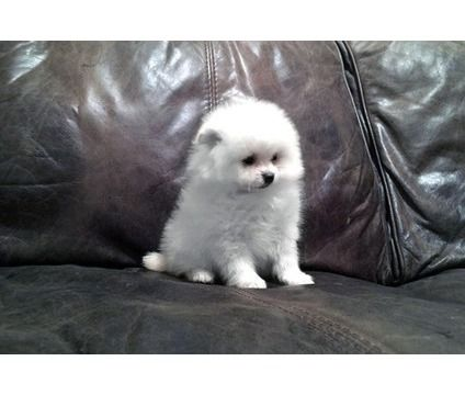 Seattle M F Pomeranian Puppies For Sale Is A Pomeranian Puppy For