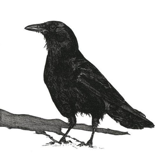 Pen And Ink Drawing Black Crow Reproduction Print Art Products