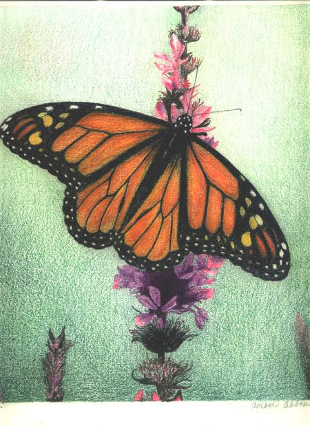 monarch butterfly colored pencil on drawing paper by amber d angelo