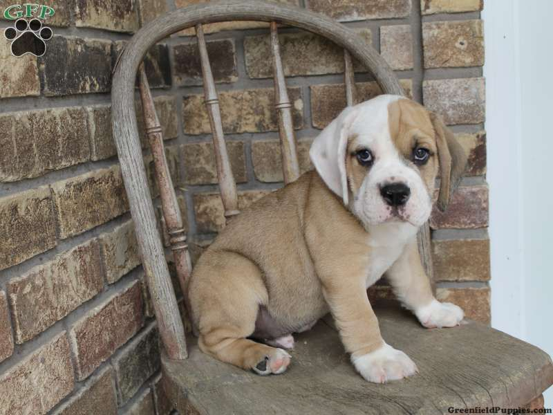 Pokie Beabull Puppy For Sale In Dundee Oh Greenfield Puppies
