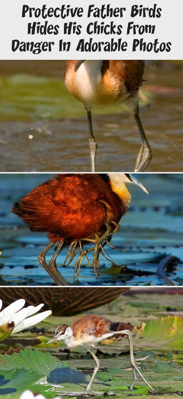 The animal kingdom is full of the most peculiar beings, that not every person knows about. If you've never heard anything of an adorable and sometimes a bit creepy bird called African Jacana, you're just about to learn something new! The Jacanidae family has 8 known species of Jacanas, and one of them is the African Jacana. It is a tropical bird that mostly resides in wetlands and is usually found in sub-Saharan Africa.  #ZooAnimals #SeaAnimals #AnimalsPrint #AnimalsCartoon #AnimalsS