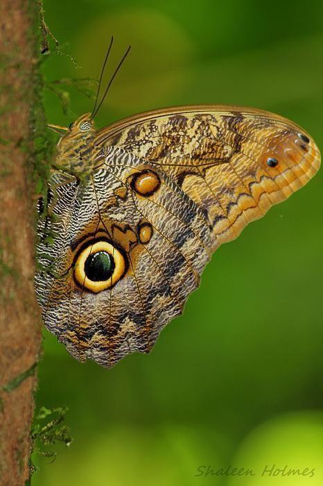 """Owl Butterfly By Shaleen Holmes / """"Quando se ama. Tudo se transforma. O céu fica mais azul. O mar mais refrescante. O beijo mais doce. O abraço mais aconchegante. (Bitil)"""