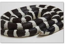 Banded desert California king snake. Want one someday!!
