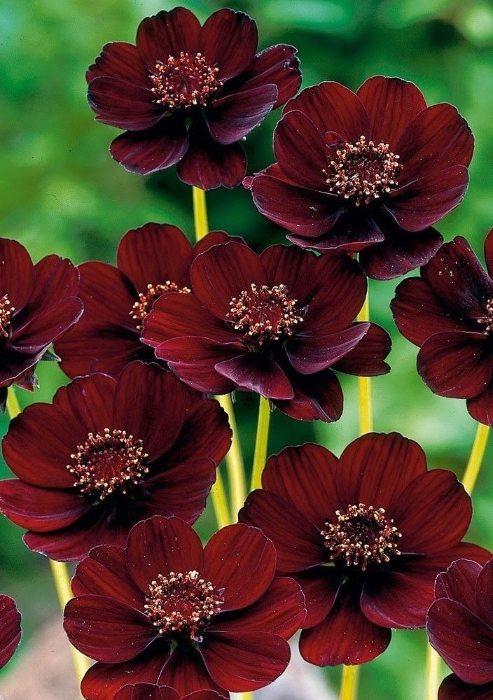 Pin By Elise Hart On Wallpaper Chocolate Cosmos Flower Chocolate Cosmos Cosmos Flowers
