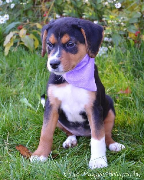 Beagle Collie Mix Beagle Dog Adoptable Beagle Cute Animals
