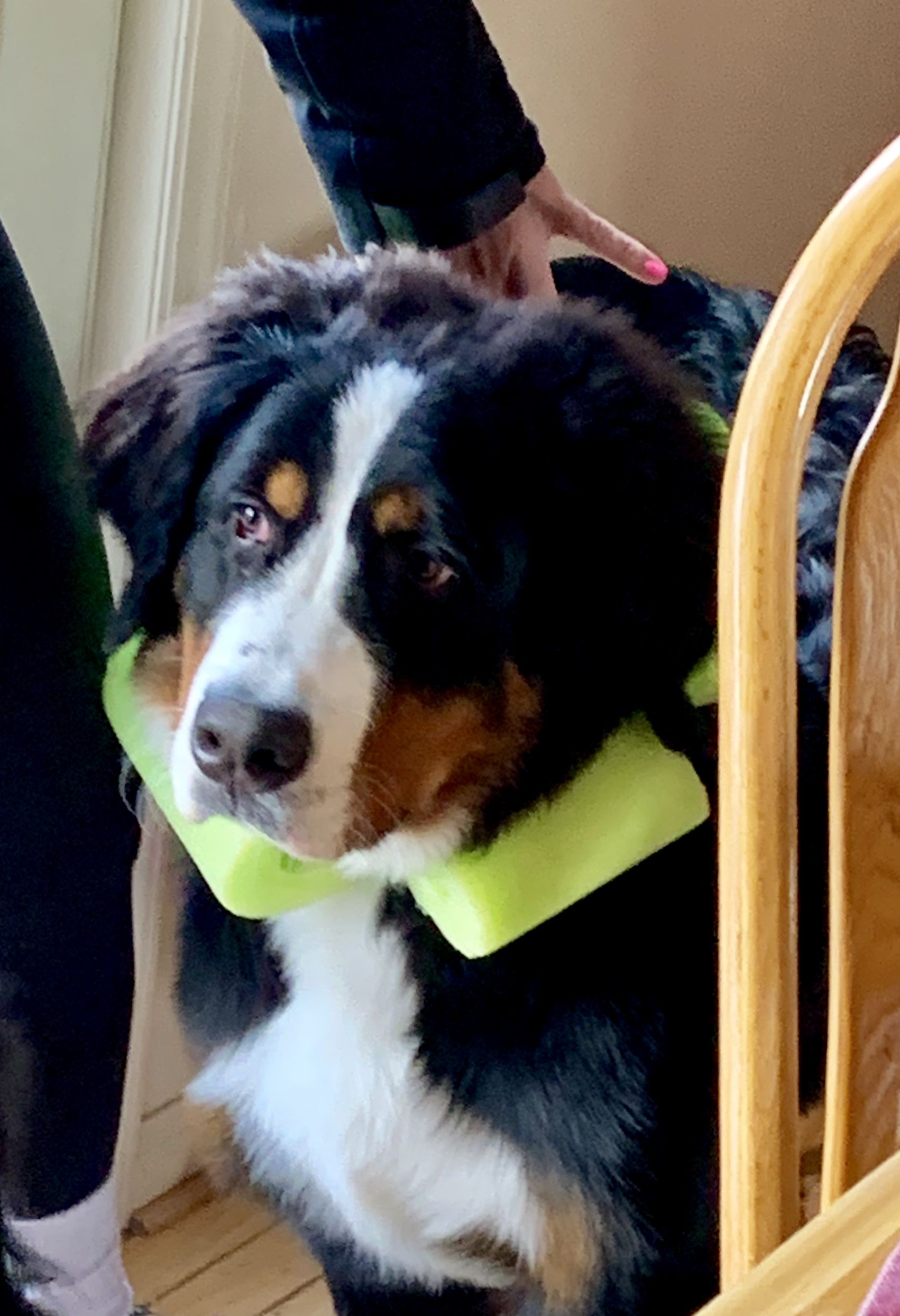 Diy Pool Noodle Bernese Mountain Dog Cone Of Shame Dog Cone